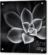 Portrait Of A Succulent Acrylic Print