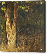 Portrait Of A Tree Trunk Acrylic Print