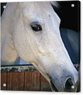 Portrait Of A White Horse Looking Acrylic Print