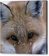 Portrait Of Adult Red Fox Acrylic Print