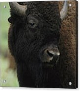 Portrait Of An American Bison Acrylic Print