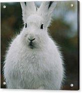 Portrait Of An Arctic Hare Acrylic Print