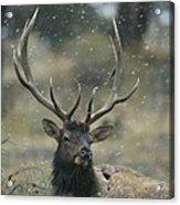 Portrait Of An Elk Or Wapiti Acrylic Print by Norbert Rosing