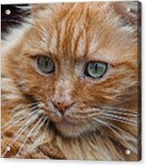 Portrait Of An Orange Kitty Acrylic Print