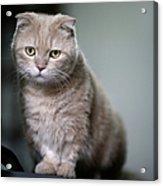 Portrait Of Cat Acrylic Print by LeoCH Studio