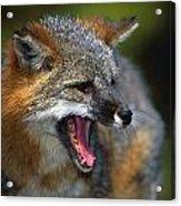 Portrait Of Gray Fox Barking Acrylic Print