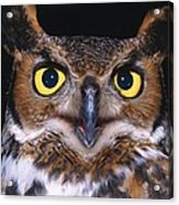 Portrait Of Great Horned Owl Acrylic Print