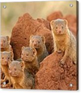 Portrait Of Seven Dwarf Mongooses Acrylic Print by Roy Toft