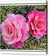 Portrait Of Sister Roses Acrylic Print