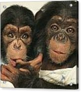 Portrait Of Two Young Laboratory Chimps Acrylic Print