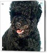 Portugese Water Dog 966 Acrylic Print