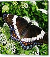 Posing Butterfly Acrylic Print