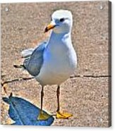 Posing Gull Acrylic Print