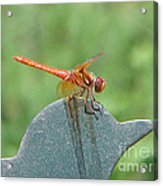 Posing Red Dragonfly Acrylic Print