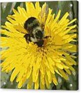 Posterized Bumble Bee Acrylic Print