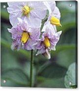 Potato (solanum Tuberosum 'charlotte') Acrylic Print
