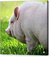 Potbelly Pig Acrylic Print