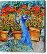 Potted Peacock Acrylic Print