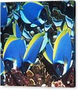 Powderblue Surgeonfish Acrylic Print