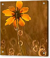 Prairie Coreopsis And Dewdrops Acrylic Print
