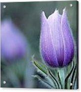Prairie Crocus Anemone Patens Acrylic Print