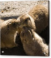 Prairie Dog Gossip Session Acrylic Print