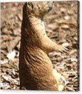 Prairie Dog Profile Acrylic Print