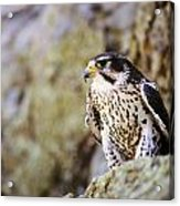 Prairie Falcon On Rock Ledge Acrylic Print