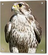 Prairie Falcon Perches On The Ground Acrylic Print