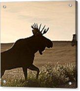 Prairie Moose Acrylic Print