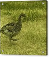 Prarie Chicken At Battle Of Little Bighorn Site Acrylic Print