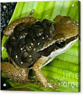 Pratts Rocket Frog With Young Acrylic Print by Dante Fenolio