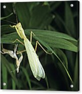 Praying Mantis With Its Shed Skin Acrylic Print