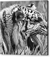 Predator Acrylic Print by Naman Imagery