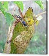 Predatory Wasp Hunts Spider Acrylic Print