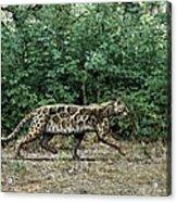 Prehistoric Cat, Artwork Acrylic Print