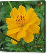 Pretty And Lovely In Yellow Acrylic Print