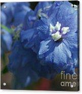 Pretty Blue Delphinia Acrylic Print