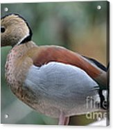 Pretty Duck  Acrylic Print