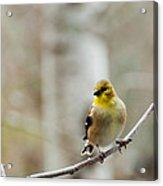 Pretty Finch Acrylic Print