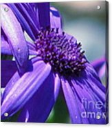 Pretty In Pericallis Acrylic Print by Rory Sagner