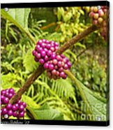 Pretty In Pink Berrys Acrylic Print