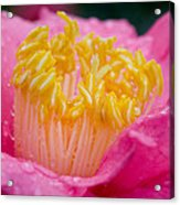 Pretty In Pink Acrylic Print by Rich Franco