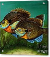 Pretty Little Panfish Acrylic Print