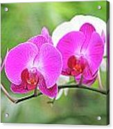 Pretty Orchids All In A Row Acrylic Print
