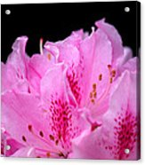 Pretty Pink Rhododendron Blossoms Acrylic Print