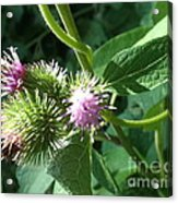 Pretty Prickles Acrylic Print