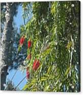 Pretty Red Furry Flowers Acrylic Print