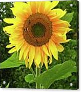 Pretty Sunflower  Acrylic Print
