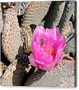 Prickly Pear Cactus Fertilized By Honey Bee Acrylic Print